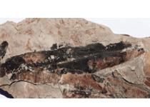 Glossopteris-fossil