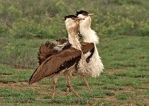 The-Great-India-Bustard1